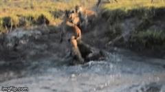 Chầy chật săn linh dương, chó hoang bất lực nhìn bầy linh cẩu cướp mồi trắng trợn