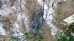 Vụ cá sấu sổng chuồng: Người nuôi có thể bị phạt 350 triệu đồng