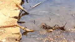 Trận chiến quyết liệt của hai con rắn giành một con ếch