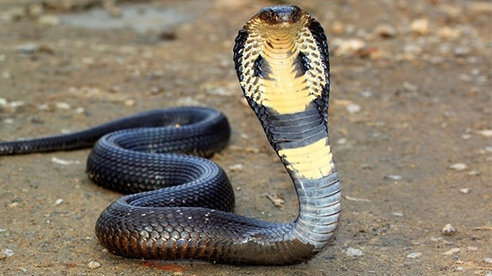 """Rùng mình cảnh thanh niên """"dụ"""" rắn hổ mang chúa khổng lồ ra đường, dùng tay không bắt sống"""