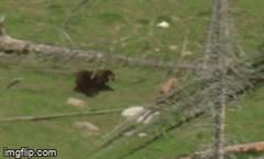 Chỉ vì mắc sai lầm trong phút chốc, nai sừng tấm bị gấu xám rượt đuổi xé xác