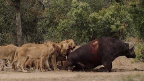 Trâu rừng bị đàn sư tử cắn đứt đuôi, thủng lưng vẫn chống trả đến phút cuối