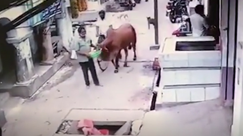 Can cái tội chắn đường, người đàn ông bị bò húc chổng vó xuống hố ga