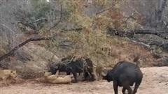 Trâu rừng thoát chết ngoạn mục trước sự tấn công điên cuồng của đàn sư tử hung ác