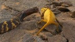 Tắc kè hoa điên cuồng tấn công rắn ngựa vằn và cái kết chát đắng