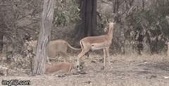 Đụng độ đàn linh dương Impala, sư tử có hành động đầy khó hiểu