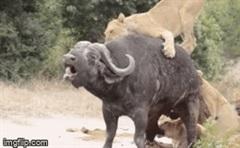 Bị đàn sư tử cắn đứt đuôi, trâu rừng có sống sót để chứng kiến bất ngờ phút cuối?