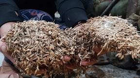 Nông dân Quảng Trị suy sụp nhìn thóc lấm bùn, mọc mầm sau lũ