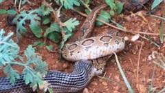 Rắn hổ bướm đụng độ rắn cạp nia: Trận đấu của 2 kẻ thuộc 'Tứ đại nọc độc' diễn ra thế nào?