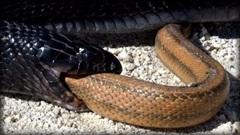 Chuyện kỳ lạ về loài rắn khiến bạn phát 'sốc'