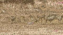 Sư tử chạy rẽ đất vì bị nghìn con trâu vây bắt