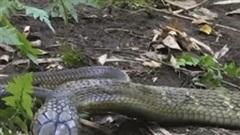 """Lao vào """"tử chiến"""" rắn hổ mang chúa, hổ mang Java bị giết chết trong tích tắc"""