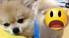 Dẫn chó cưng đến nhà bà chơi chưa được bao lâu, con vật đã 'biến hình' khiến dân mạng vừa hoảng sợ vừa không nhịn được cười