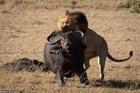 Cuộc chiến sinh tử giữa trâu rừng gãy chân và 3 sư tử đực, kỳ tích có xuất hiện?