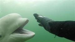Bất ngờ chạm trán cá voi Beluga, thợ lặn đưa tay vẫy chào