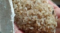 Loại gạo ngậm sương, không dám phơi nắng: Đặc sản Yên Bái, giá đắt gấp 3