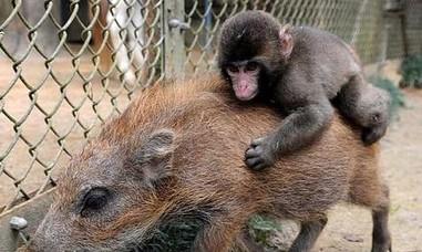 Clip khỉ cưỡi lợn rừng chạy trốn thổ dân