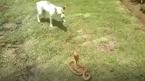 Chó nhà đối đầu với hổ mang: Cái kết đầy bất ngờ!
