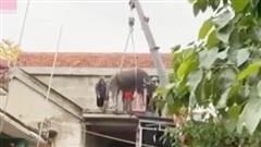 Cập nhật tình hình đàn trâu miền Trung bất đắc dĩ phải bơi lên mái nhà vì lũ: Đã được đưa xuống nhờ pha giải cứu hết sức 'cồng kềnh'