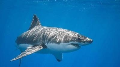 Bạch tuộc khổng lồ phục kích, biến cá mập thành bữa ăn trong nháy mắt