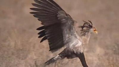 """Cận cảnh săn mồi của loài chim kiêu kỳ, sở hữu chân """"dài tới nách"""""""