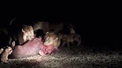 Hà mã non đi lạc bị đàn sư tử hung hãn tấn công trong đêm