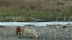 Bê con đơn độc bị tấn công, may mắn không thành bữa tối của chó sói