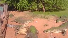 Cá sấu ngoạm nhầm chân đồng loại, cảnh tượng sau đó thật không thể tưởng tượng nổi!