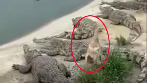 Chú vịt con 'đi chơi không hỏi bà', thản nhiên dẫm lên lưng cá sấu và cái kết hồi hộp