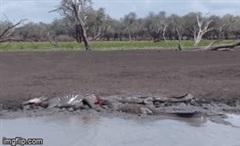 """Đang uống nước, ngựa vằn bị đàn cá sấu """"tóm cổ"""" cắn xé, bỏ mạng trong đau đớn"""