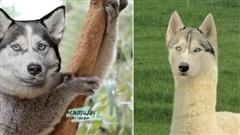 Bộ ảnh chú Husky mặt ngáo 'phối giống' với cả thế giới khiến người xem thấy sai vô cùng