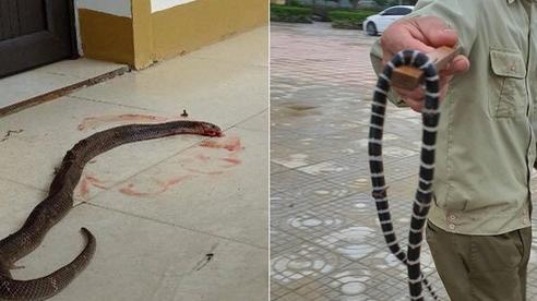 Cận cảnh hàng chục con rắn bò vào nhà dân ở Hà Tĩnh sau lũ: Dài hàng mét, toàn loài kịch độc