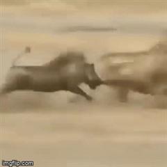 """Màn rượt đuổi """"nhanh như chớp"""" giữa báo đốm và lợn rừng"""