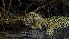 Báo đốm tung độc chiêu bắt sống cá sấu trên sông