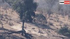 Trâu rừng may mắn thoát chết 2 lần liên tiếp khi bị cả đàn sư tử truy đuổi