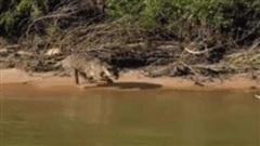Báo đốm lao như tên bắn vào cá sấu: Cuộc vật lộn dưới nước kết thúc ra sao?