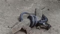 Tắc kè 'khủng' nằm ngoan ngoãn cho kẻ thù nuốt chửng, thế nhưng con rắn lại có 'hành động lạ' về sau