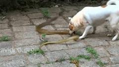 Chó nhà điên cuồng cắn xé rắn hổ mang trâu và cái kết bi thảm