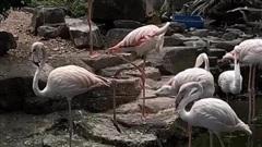 Clip những chú chim hồng hạc mới nhập thêm ở Thảo Cầm Viên khiến dân mạng cực thích thú vì đẹp như 'tiên cảnh'