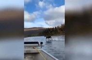 """Nai Alaska có màn chạy trên nước """"ảo diệu"""" như phim kiếm hiệp"""
