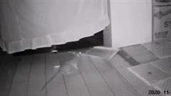 Tròn mắt xem chuột 'thành tinh' tự dọn dẹp bẫy để lấy đường đi