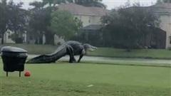Con cá sấu khổng lồ đi dạo trong sân golf, dân mạng hốt hoảng 'Quái vật Godzilla' là có thật