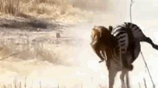 """Ngựa vằn hành sư tử """"thừa sống thiếu chết"""""""