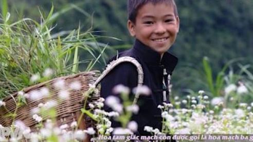 Hà Giang chớm mùa hoa Tam giác mạch