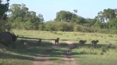 Đi săn trâu rừng, sư tử bị 'săn ngược lại', chạy tán loạn