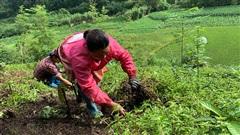 Cao Bằng: Cả làng 'hái' ra tiền từ thứ cây kỳ lạ, chỉ cần mưa xuống là tốt vù vù