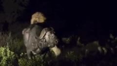 Trâu rừng kịch chiến 2 sư tử đực trong đêm và chiến thắng đầy ngoạn mục
