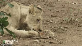Bất ngờ trước cảnh sư tử âu yếm, vuốt ve linh dương con