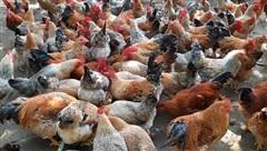 Một ông nông dân tỉnh Quảng Ninh nuôi loài gà khi sống khen đẹp, khi 'chết' khen ngon, có khách mua xách sang bên Mỹ