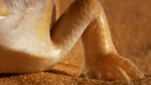 Thằn lằn cát vô tình đụng phải rắn lục sừng trên sa mạc, pha 'độn thổ' giúp nó thoát chết